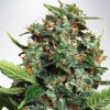 Silver Bullet Auto Fem seeds