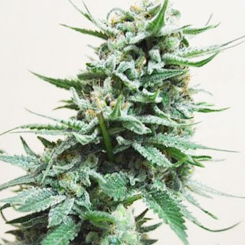 White Russian seeds