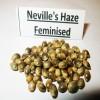 Neville's Haze fem