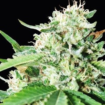 Black Domina fem seeds