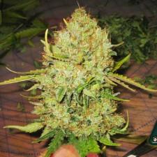 Big Bud fem (spain)