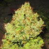 Big Bud fem (spain)  variedad