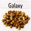 Семена Galaxy